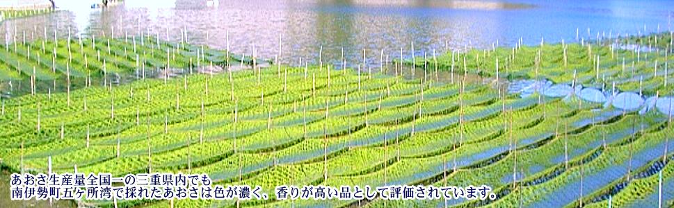 五ヶ所湾のあおさの養殖の風景